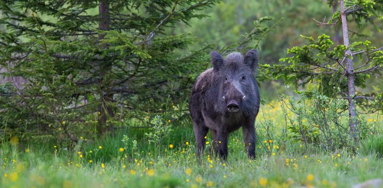 画像に alt 属性が指定されていません。ファイル名: wild-boar-standing-in-forest-in-summertime-nature-1.jpg
